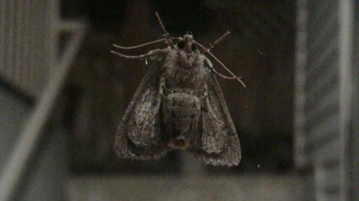 Mothra?